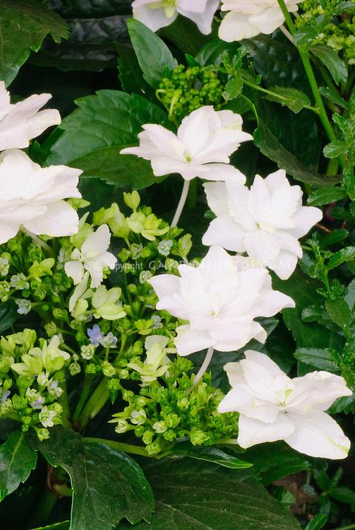 Hydrangea Fireworks White ('Hanabi')