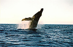 The Humpback Whale breaches off the Maui Coastline in the AuAu Channel on February 19,2005.Sequence photos 2 of 5.© Debbie VanStory/RockinExposures.