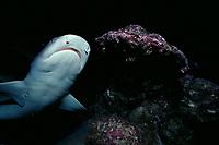 whitetip reef shark, Triaenodon obesus, Cocos Island, Costa Rica, Pacific Ocean