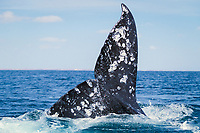 Adult California gray whale (Eschrichtius robustus) fluke-up dive in San Ignacio Lagoon, Baja California Sur, Mexico, Pacific Ocean