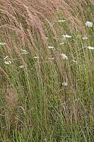 Land-Reitgras, Landreitgras, Wald-Schilf, Sand-Reitgras, Calamagrostis epigejos, Calamagrostis epigeios, wood small-reed, bushgrass, Calamagrostis commun, Roseau des bois
