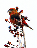 Adult male red crossbill