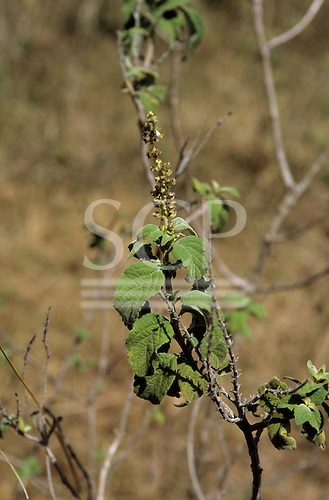 Lolgorian, Kenya. Siria Maasai; medicinal plant 'Olamorran'; used to repel mosquitoes. Labiate, Ocimum gratissimum (?).