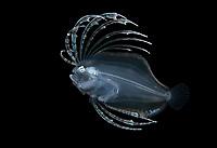 Cyclopsetta fimbriata, the spotfin flounder, photographed during a Blackwater drift dive in open ocean at 20-40 feet with bottom at 500 plus feet below.  Palm Beach, Florida, U.S.A.  Atlantic Ocean