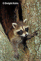 MA25-246z  Raccoon - young raccoon exploring and climbing tree - Procyon lotor