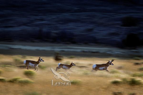Pronghorn Antelope (Antiloapra americana) running across dry grassland in fall, Western U.S..