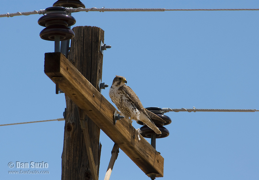 Prairie falcon, Falco mexicanus.  Oasis Valley, Nevada.