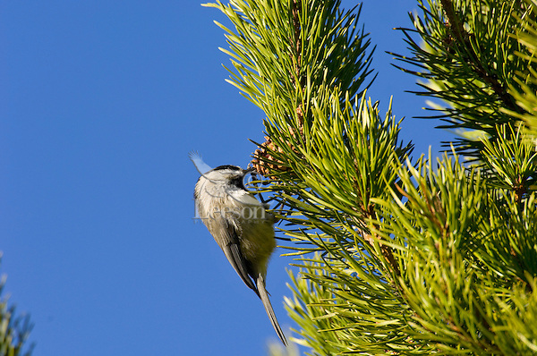 Black-capped chickadee (Poecile atricapillus) looking for insects or more likely seeds in lodgepole pine cone.   Western U.S., fall.