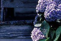 Lilac bushes against  wooden wall<br />