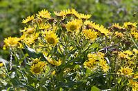Küsten-Greiskraut, Senecio pseudoarnica, Senecio pseudo-arnica, Jacobaea pseudoarnica, Senecio rollandii, Seaside Ragwort, Island, Iceland
