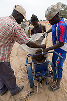 Millet Cultivation.  Using a Soil Ripper, Compost and Fertilizer can be quickly placed in long rows, awaiting the seeds.  Kaolack, Senegal.  These farmers are of the Serer ethnic group. DOZENS MORE OF IMAGES RELATED TO MILLET CULTIVATION ARE AVAILABLE.  WHAT DO YOU NEED?
