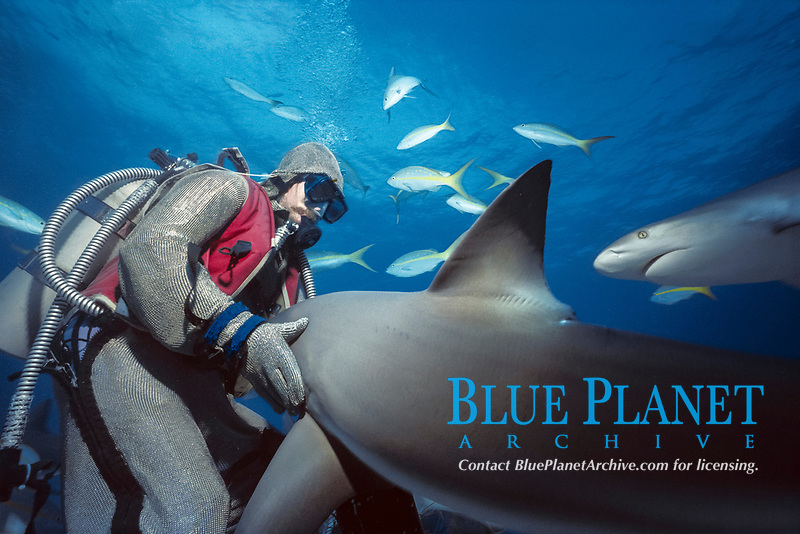 Shark handler feeds Caribbean Reef Sharks (Carcharhinus perezii) with schooling Yellowtail Snappers (Ocyurus chrysurus), Bahamas - Caribbean Sea.