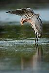 Reddish egret, Everglades National Park, Florida, USA