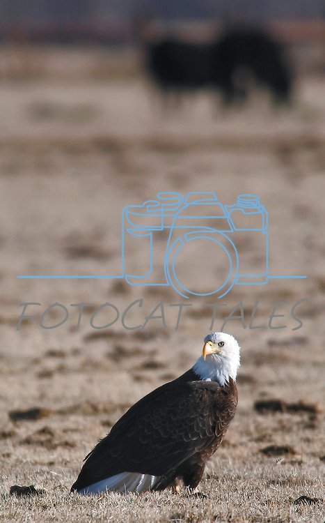 A bald eagle sits in a field along Highway 88 in Gardnerville on Tuesday morning. The birds are seen frequently in the region during calving season. Area ranchers acknowledge the beauty of the birds but ask that observers respect their property and not disturb the cows and their calves.<br /> Photo by Cathleen Allison