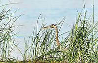 Animaux dans la nature a Montreal et les environs, 2021<br /> - Heron<br /> <br /> Photo : Pierre Tran - AQP
