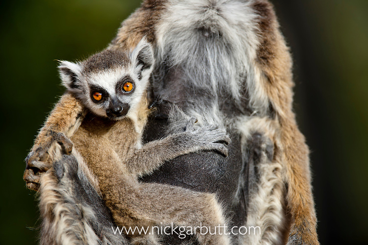 Infant Ring-tailed Lemur (Lemur catta)(6-8 weeks) clinging to mother. Berenty Private Reserve, southern Madagascar.