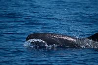 False killer whale, Lanai, Pseudorca crassidens, Hawaii, Pacific Ocean