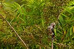 Green Imperial Pigeon (Ducula aenea), Diyasaru Park, Colombo, Sri Lanka