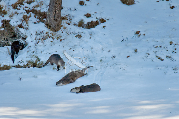 Northern River Otter (Lontra canadensis) sliding/playing in snow.