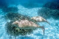 dugong or sea cow, Dugong dugon, mother and calf, Shark Bay, Australia (Indian)