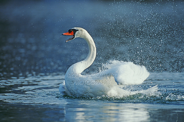 Mute swan (Cygnus olor), adult bathing, Flachsee, Aargau, Switzerland