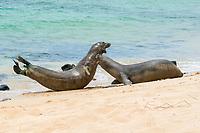 Hawaiian monk seals, Neomonachus schauinslandi ( critically endangered endemic species ), two males fight over access to female at Papaloa Beach, Kalaupapa Peninsula, Molokai Island, Hawaii, USA ( Pacific Ocean )