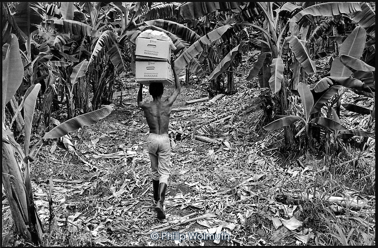 Carrying field-packed boxes of bananas on Dougaldston Estate, Gouyave, for the weekly Geest shipment to the UK.  Each box weighs about 35lb.