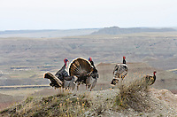 "Two wild turkey gobblers strutting before a couple hens during spring mating season in ""badlands"" area of South Dakota."