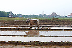 Oxen in Rice Field