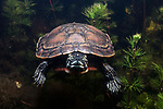 Northern Red-bellied Cooter swiiming towards camera in Burrage Pond, Hanson, MA