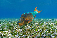 rainbow parrotfish, Scarus guacamaia, terminal phase male, with sharksucker, remora, or slender suckerfish, Echeneis naucrates, feeding in bed of turtle grass (seagrass), Thalassia testudinum, Hol Chan Marine Reserve, Ambergris Caye, Belize, Central America (Western Caribbean Sea)