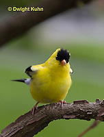 SW05-504z  American Goldfinch male, Carduelis tristis