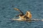Brown Pelican Landing at Sunrise, Sanibel Island, Florida