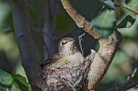 Anna' Hummingbird nest (Calypte anna).  Arizona.  February-March.  Note the use of spider web on nest and still on female's beak from collecting it for holding nest together.
