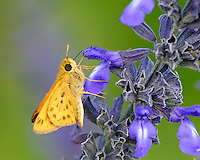 Fiery Skipper Moth , Enchanted Rock State Park, Tx