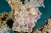 juvenile Broadclub cuttlefish, Sepia latimanus, Bunaken Marine Park, North Sulawesi, Indonesia, Pacific Ocean
