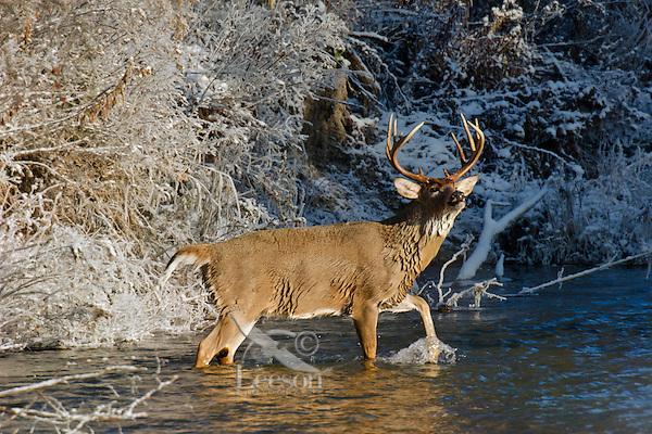 White-tailed Deer buck (Odocoileus virginianus) wading in stream, Western U.S., Late Fall.