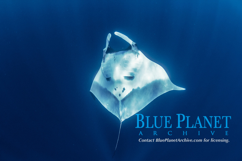 Giant Oceanic Manta Ray, Mobula birostris, formerly Manta birostris, Chichi-jima, Bonin Islands, Ogasawara Islands, Natural World Heritage Site, Tokyo, Japan, Pacific Ocean