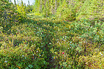 Schoodic Bog in Hancock County, Maine, USA