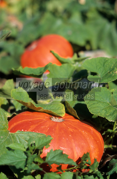Europe/France/Ile-de-France/91/Essonne/Courson-Monteloup: Potiron dans le jardin potager