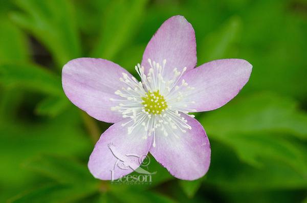 Oregon Anemone or Western Wood Anemone (Anemone oregana).  Cascade Mountains, Pacific Northwest.  May-June.