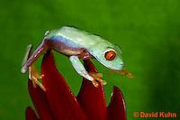 0306-0924  Red-eyed Tree Froglet (Young Frog) Climbing, Agalychnis callidryas  © David Kuhn/Dwight Kuhn Photography.