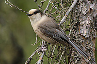 Adult Gray Jay (Perisoreus canadensis) of the boreal subspecies P. c. canadensis in a spruce. Coldfoot, Alaska, June.