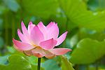 Mauritius, Pamplemousses: Sir Seewoosagur Ramgoolam Botanic Gardens - Pink Lotus flower | Mauritius, Pamplemousses: Sir Seewoosagur Ramgoolam Botanischer Garten - Lotosbluete
