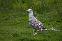 Mantelmöwe, Jungvogel, juvenil, Mantel-Möwe, Möwe, Mantelmöve, Larus marinus, great black-backed gull