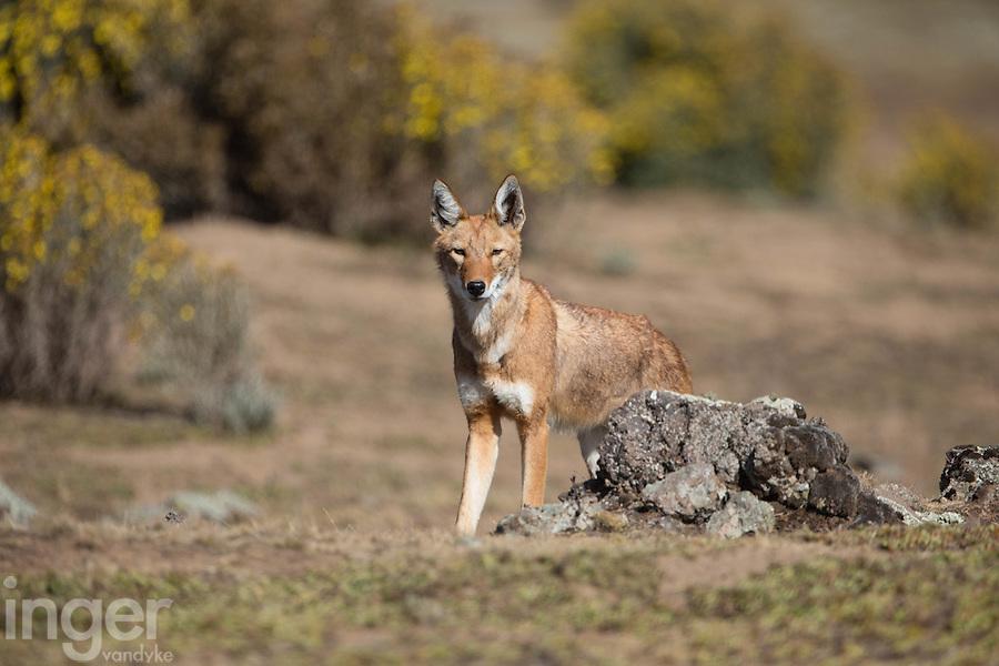 Ethiopian Wolf in the Bale Mountains of Ethiopia