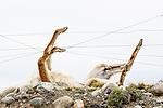 Guanaco (Lama guanicoe) ensnared in fence, Torres del Paine National Park, Patagonia, Chile