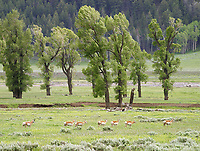 A herd of pronghorn marches through the Lamar Valley.