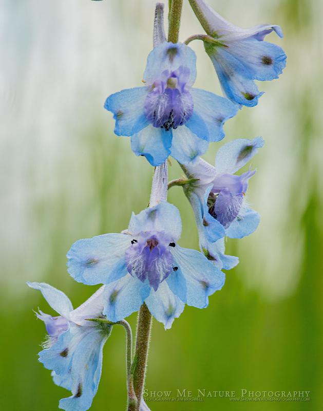 Prairie Larkspur wildflowers