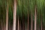 Pine (Pinus sp) tree plantation, Kaapsehoop, South Africa